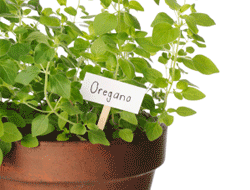 Garden Plant Labels - Oregano