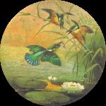 Circular kingfisher drawing