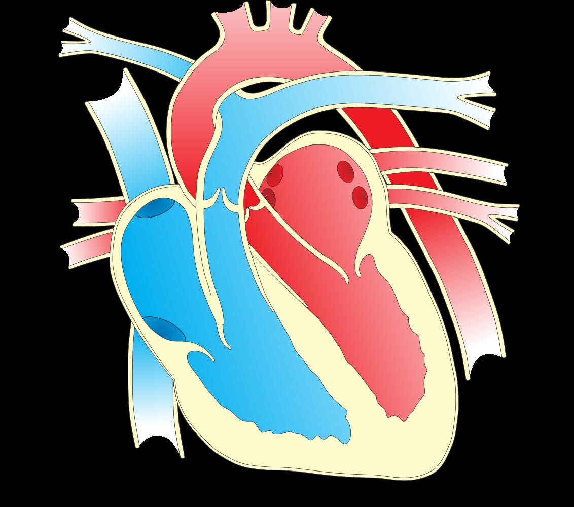 OnlineLabels Clip Art - Heart Diagram 2