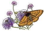 Papillon Damier de la succise - Marsh fritillary butterfly